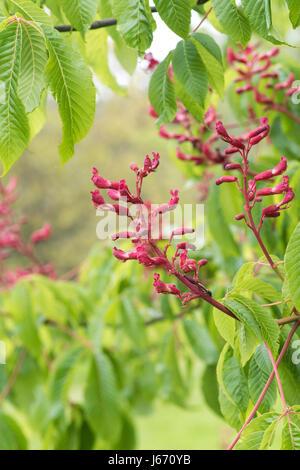 Aesculus pavia atrosanguinea. Red buckeye flowers in may - Stock Photo