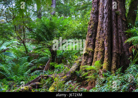 Dicksonia antarctica Rain forest at Melba Gully State Park, Great Otway National Park, Victoria, Australia. - Stock Photo