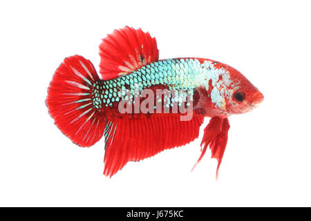 Normal betta fighting fancy fish on white background. - Stock Photo