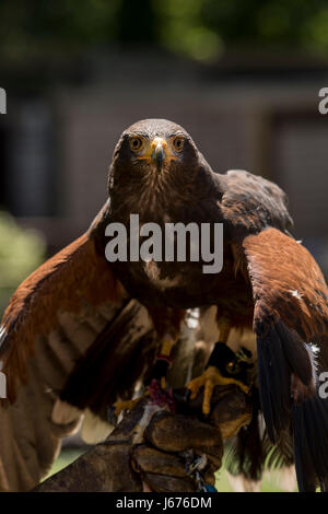 Harris Hawk just finished feeding and still has his wings pointed downward - Stock Photo