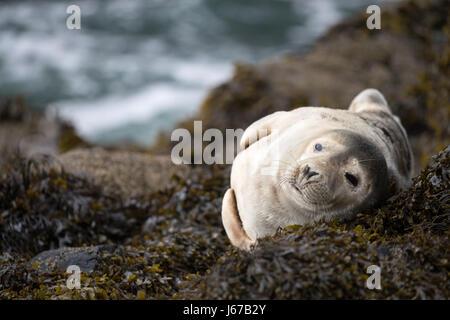 Juvenile Grey Seal (Halichoerus grypus) sunbathing on rocks and seaweed in the morning spring sun, Skomer, Wales, - Stock Photo