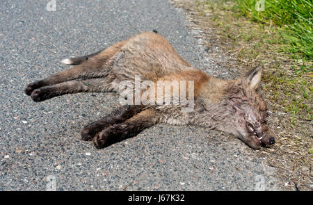 Roadkill, a decaying dead red fox cub with swarming and egg laying bluebottles. A fox cub killed in the traffic - Stock Photo