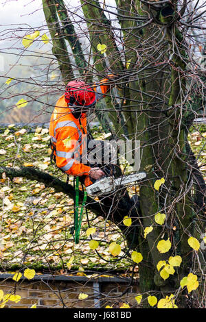 An arboriculturalist with a chainsaw and orange protective clothing up a tree cutting back branches in autumn, London, - Stock Photo