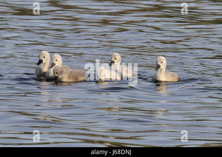 Six Mute Swan Cygnets Swimming on a Lake - Stock Photo