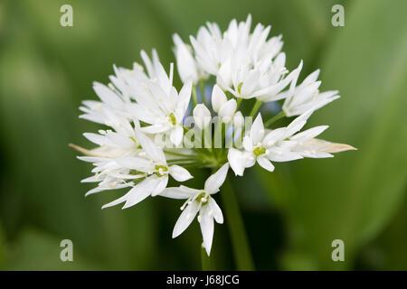 Ramsoms (Allium ursinum) flower - Stock Photo