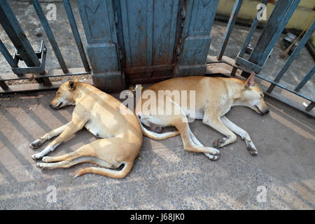 Dogs sleeping on the ground around Kalighat temple in Kolkata, India on February 10, 2016. - Stock Photo