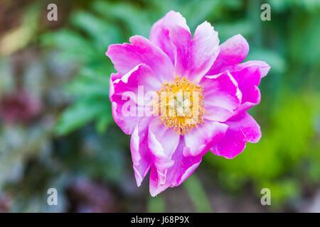 Macro closeup of inside of one large pink peony flower