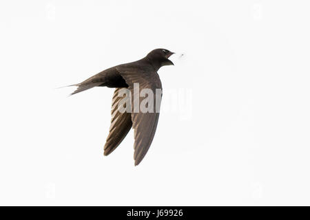 Titchwell RSPB Reserve North Norfolk, UK. 20th May, 2017. Common Swift Apus apus catching a fly at Titchwell RSPB - Stock Photo