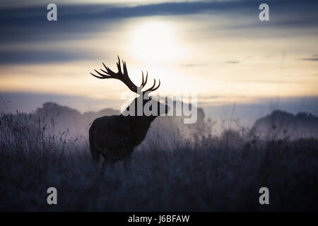Stag at dawn in Richmond Deer Park - Stock Photo