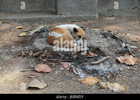 Dogs sleeping on the ground around Kalighat temple in Kolkata, India on February 08, 2016. - Stock Photo