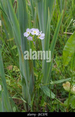 Flowers of Lady's-Smock / Cuckooflower / Cardamine pratensis seen with the leaves of Yellow Iris (Iris pseudochorus). - Stock Photo