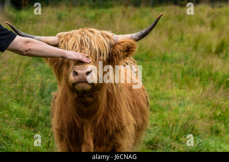 Stroking a cute cow.  highland cattle, Highlands, Scotland, United Kingdom - Stock Photo