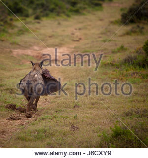 Hyena in the wild with elephant ear carrion in South Africa - Stock Photo