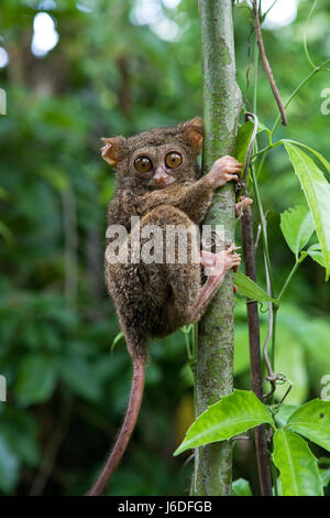 Tarsius sits on a tree in the jungle. close-up. Indonesia. Sulawesi Island. An excellent illustration. - Stock Photo