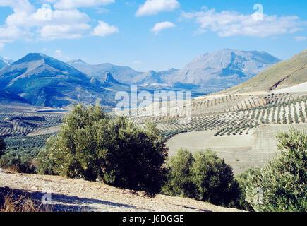 Olive grove. Sierra Magina Nature Reserve, Jaen province, Andalucia, Spain. - Stock Photo