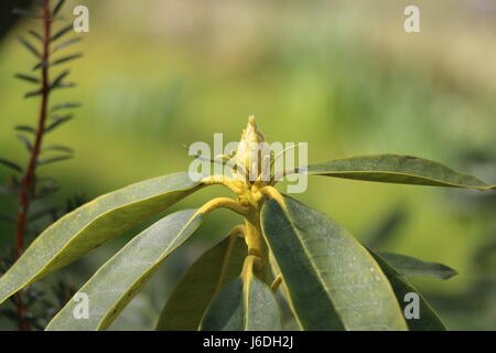 Closed green Rhododendron bud showing bud scales with evergreen spirally arranged leaves on a green background, - Stock Photo