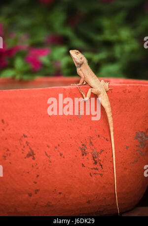 Oriental Garden lizard, Eastern Garden lizard or Changeable lizard , Calotes versicolor, Bharatpur, Rajasthan, India - Stock Photo