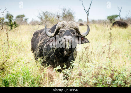 African buffalo grazing with grass in it's mouth in Kruger National Park, South Africa - Stock Photo