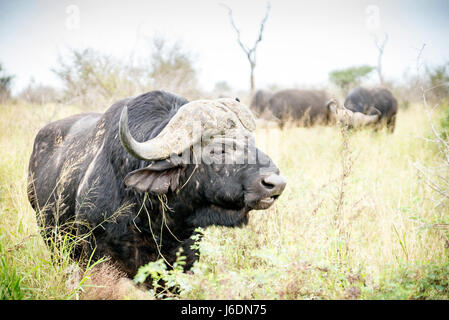 African buffalo in the grass in Kruger National Park, South Africa - Stock Photo