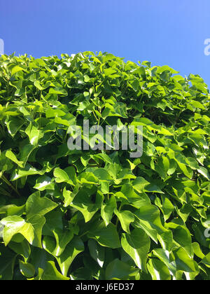 fresh green ivy leaves in Spring Stock Photo
