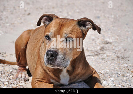 Redhead American pit bull terrier lies on the sand, close up - Stock Photo