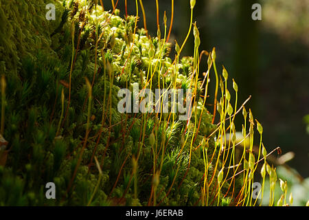 Forest in forest.Spurs on forest floor lightened by natural sunlight in dark woodland of Snowdonia National park,North - Stock Photo