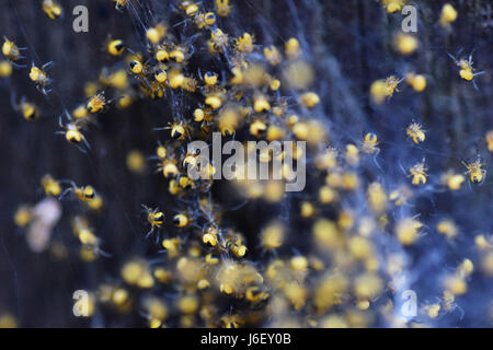 young garden spiders in nest close up - Stock Photo