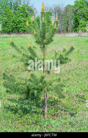 A small pine tree growing in a grassy meadow on the edge of an older foliar forest spring - Stock Photo