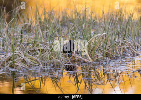 A red-winged blackbird scouring through marshy grass in a beaver pond at Schwabacher Landing. Grand Teton National - Stock Photo