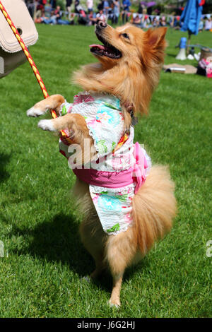 London, UK. 21st May, 2017. Goldie the Pomeranian in her floral outfit at the Inner Temple Garden Dog Show best - Stock Photo