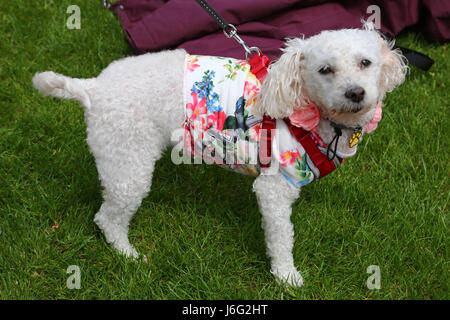 London, UK. 21st May, 2017. Gabby the Bolognese in her floral outfit at the Inner Temple Garden Dog Show best floral - Stock Photo