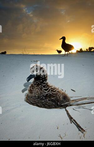 black-footed albatross (Phoebastria nigripes) - Stock Photo