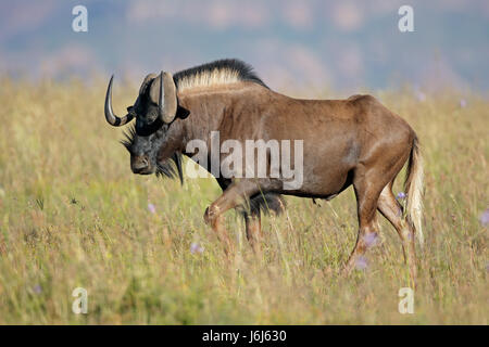 Male black wildebeest (Connochaetes gnou) in grassland, South Africa - Stock Photo