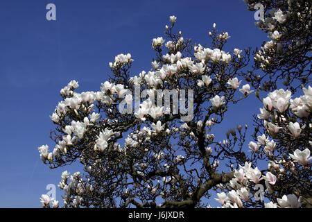 saucer magnolia - Stock Photo