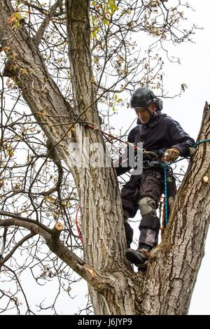 how to cut down a walnut tree