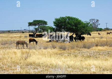 cattle seek shade under acacia trees in the central kalahari desert,botsw - Stock Photo