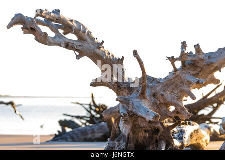 The early morning sun lights up the huge dritwood on Boneyard Beach at Florida's Big Talbot Island State Park. (USA) - Stock Photo