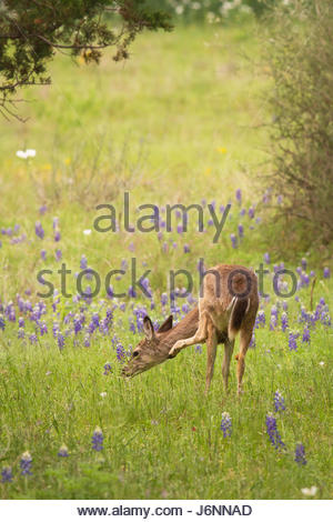 A small female whitetail deer (Odocoileus virginianus) scratches an itch in a field of bluebonnets. - Stock Photo