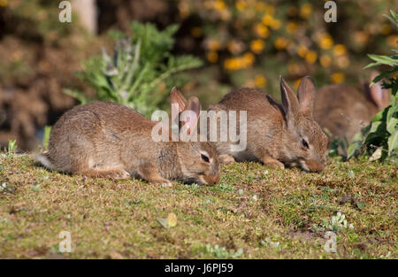 European Rabbit, Oryctolagus cuniculus, two young feeding on grass on heathland. Minsmere, Suffolk, UK. - Stock Photo