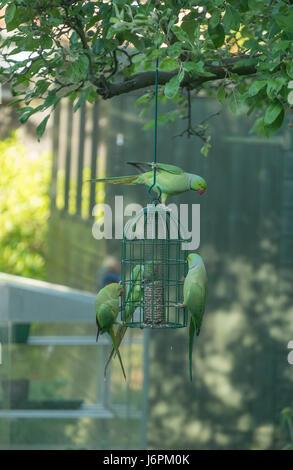 Ring Necked Parakeets on garden bird feeder in London suburbs - Stock Photo
