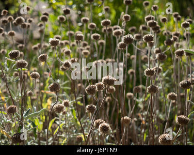 a full frame field of many Monarda Fistulosa Bergamot seed heads backlit in silhouette into the sun silhouette - Stock Photo