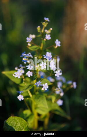 Flowers and leaves Brunner macrophylla in spring gardens. - Stock Photo