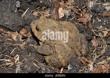 Common Toad - Bufo bufo Amphibian of gardens & wetlands - Stock Photo