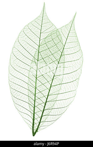 closeup leaves dry dried up barren veins skeleton graphic conspicuous - Stock Photo
