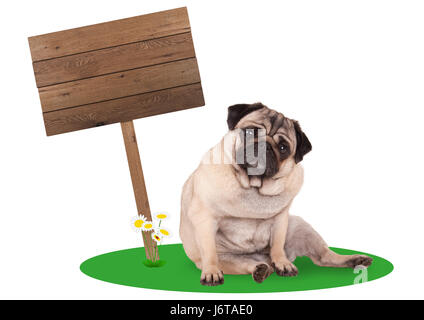 sweet cute pug puppy dog sitting down next to blank wooden board sign on pole, isolated on white background - Stock Photo
