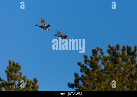 Two male Mallard ducks (Anas platyrbynchos) flying in front of a blue sky in Wisconsin - Stock Photo