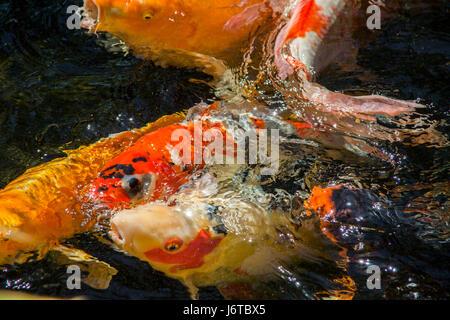 Brocaded carp in a Japanese Gaarden - Stock Photo