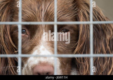 Springer Spaniel working dog, looks out of it's kennel, swansea, UK, 21st July, 2016. - Stock Photo