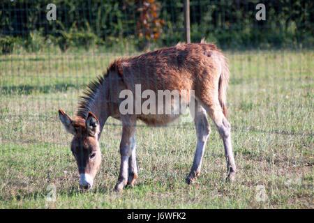animal mammal brown brownish brunette quadruped small tiny little short donkey - Stock Photo