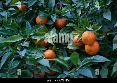 Bitter orange tree (Citrus aurantium) in Cordoba, Andalusia, Spain. - Stock Photo